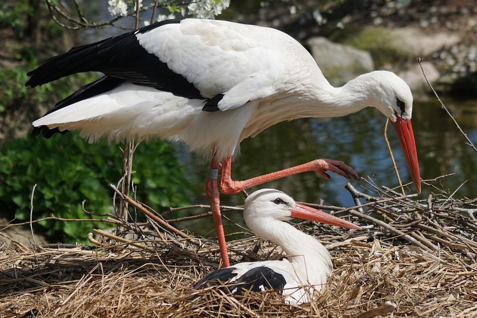 A rab gólya