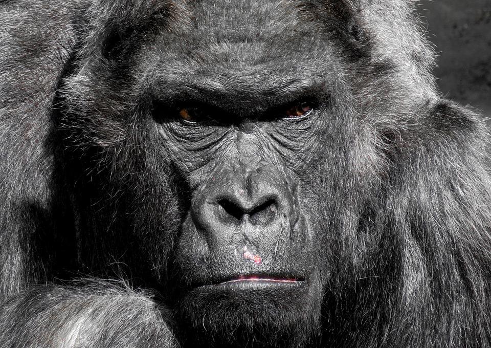 Engedelmes majom