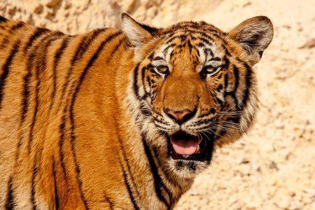 tiger-484097_960_720