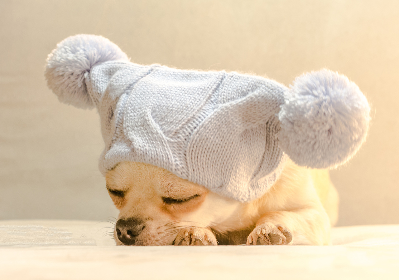 dogs_puppy_chihuahua_winter_hat_sleep_514254_1280x897
