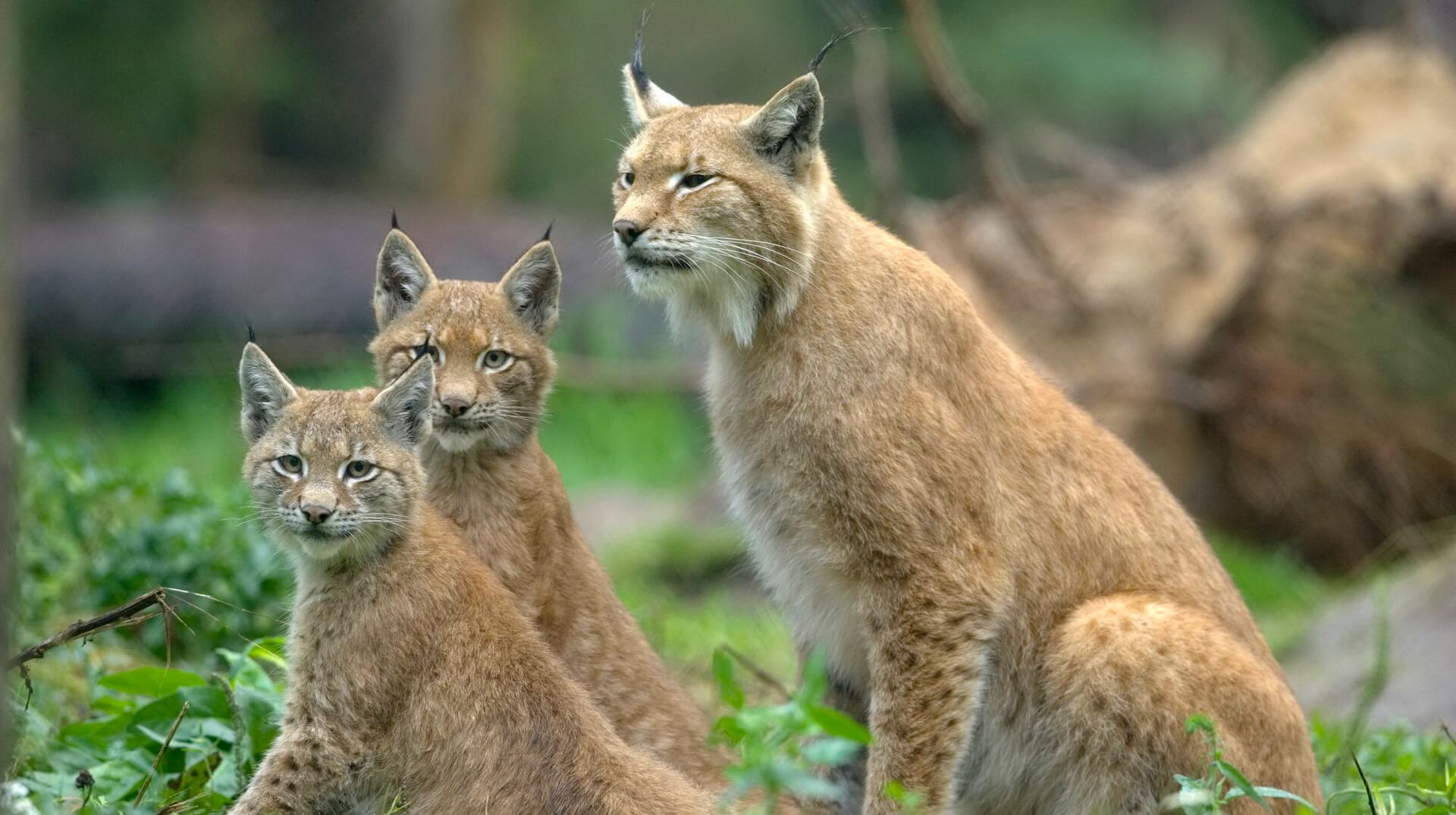 Eurasian Lynx (Lynx lynx) with cubs, Muenster, Germany via Wallpaper-Wiki